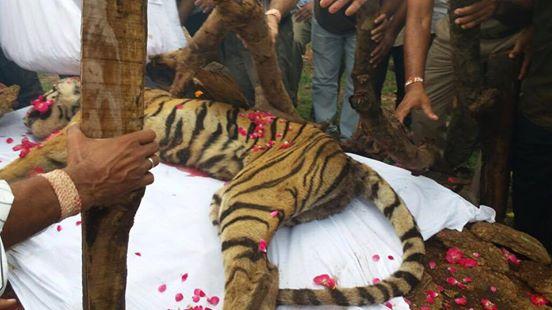 tiger (5)