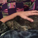 生後9ヶ月で妊娠していた猫、クロエの出産が