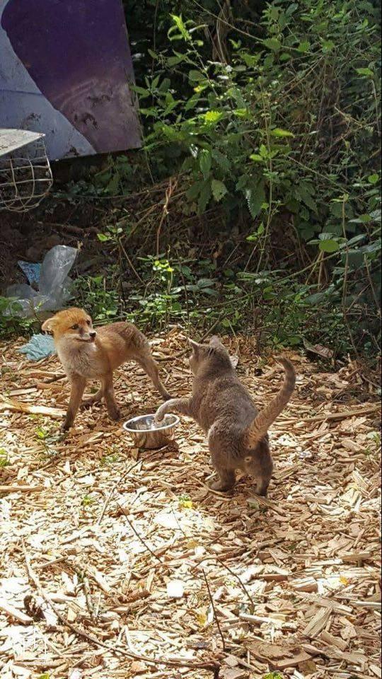 foxcat3