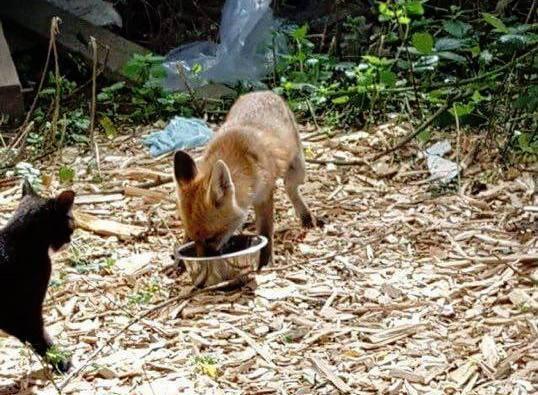 foxcat4