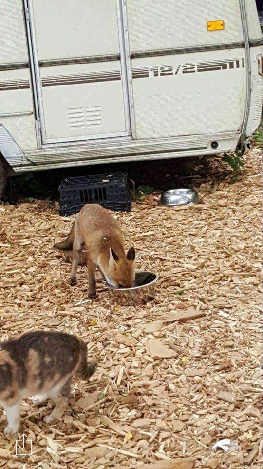 foxcat5