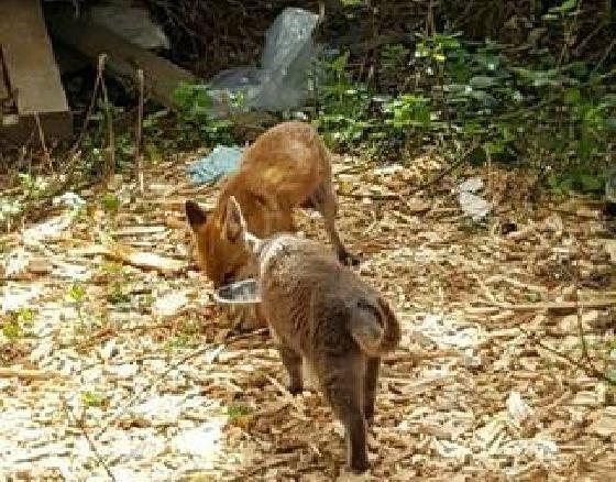 foxcat6
